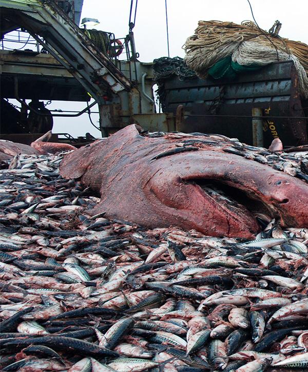 Bifangst af fisk smides tilbage i havet dødt